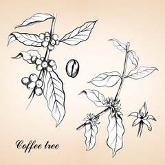Vintage engraved illustration of Coffee
