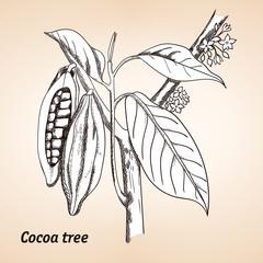 Cocoa tree or Theobroma cacao