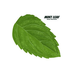 mint leaf, vector illustration