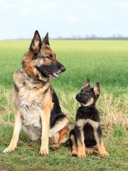 deutscher Schäferhund und Schäferhundwelpe