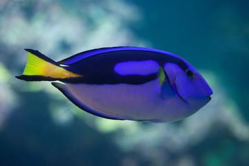 Blue surgeonfish (Paracanthurus hepatus).