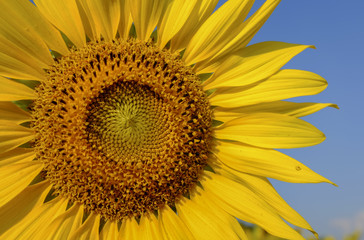 sunflower with blue sky and beautiful sun