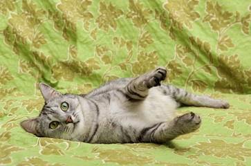 Playful cat on green background, funny cat, humorous photo of playing cat, domestic cat, funny cat in domestic background
