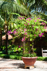 Bush of blooming bougainvillea in the garden
