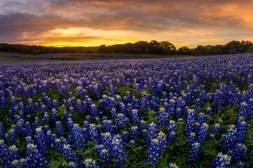 Beautiful Texas bluebonnet field in at Muleshoe Bend Recreation