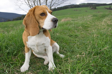 Picture of beagle dog in the green field