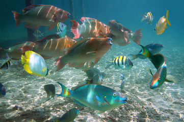 Shoal of colorful tropical fish in the Caribbean sea, Belize