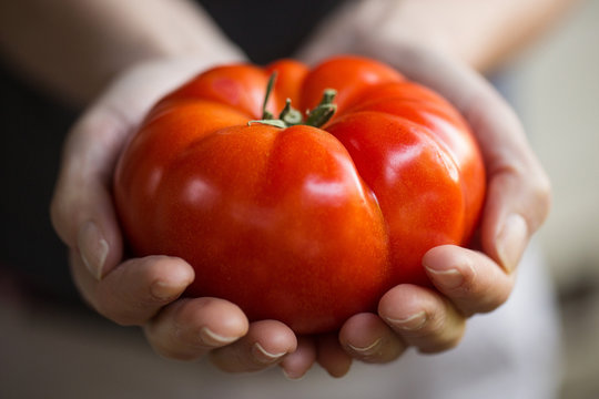 hands holding large, fresh tomato