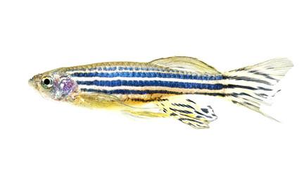 zebra danio fish isolated white