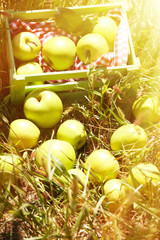 Juicy apples in green box on grass