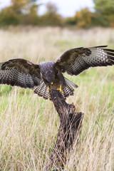 Buzzard Landing on a Tree Stump