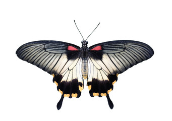 Butterfly of Swallowtail Family - Great Mormon (Papilio memnon) isolated