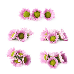 Multiple chrysanthemum flower buds isolated