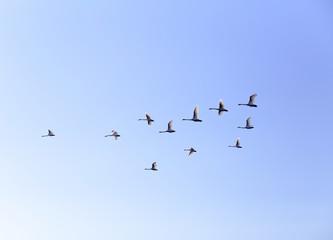 Geese flying in blue spring sky, v-formation