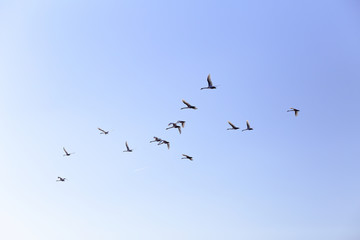 Geese flying in blue spring sky, v-formation