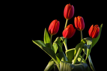 Closeup red-yellow tulips flowers bunch and green leaves isolated on black background