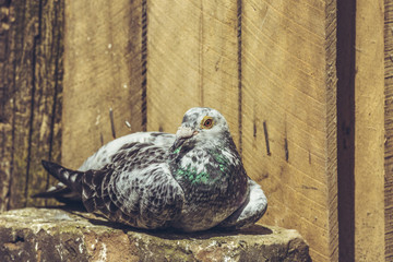 Portrait of a peaceful grey racing pigeon male resting in the sun in a wooden coop.