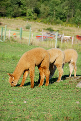 Alpaca is a domesticated species of South American camelid. It resembles a small llama in appearance.Alpacas are kept in herds that graze on the level heights of the Andes of southern Peru