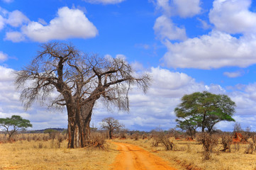 Keuken foto achterwand Baobab Baobab or boab, boaboa, bottle tree, upside-down tree, and monkey bread tree Tarangire National Park is the sixth largest national park in Tanzania after Ruaha, Serengeti, Mikumi, Katavi and Mkomazi