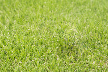 Selected focus of Green grass background
