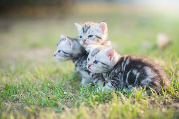 Cute American Shorthair kittens walking
