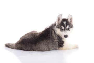 Cute siberian husky puppy lying