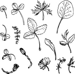 Set of ink drawing herbs and leaves
