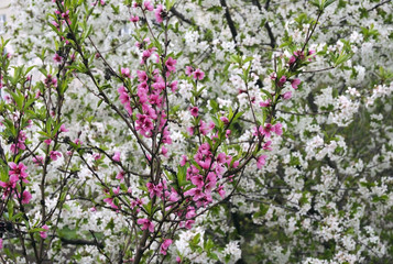 Spring flowering of fruit trees