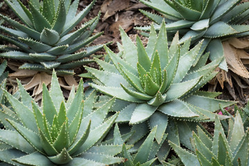 This is a photo of some kinds of succulent, was taken in Xiamen botanical garden, China.