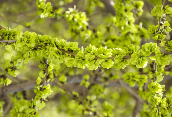 Branch with young leaves