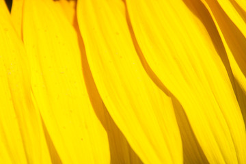 Beautiful sunflower closeup - detail and texture