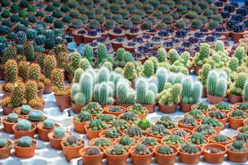 many cactus pot in market