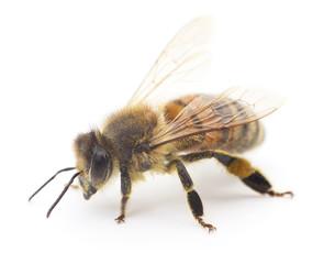 Honeybee on white.