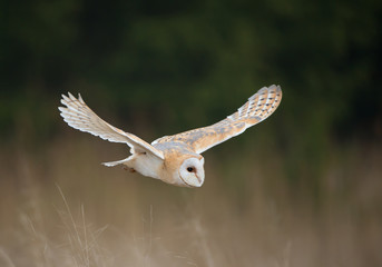 Wall Mural - Barn owl in flight, clean background, Czech Republic, Europe