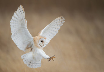 Fototapete - Barn owl in flight just before attack, with open wings, clean background, Czech Republic, Europe