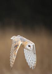 Fototapete - Barn owl in flight, with open wings, clean background, Czech Republic, Europe