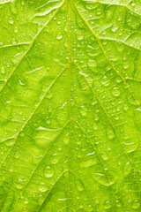 Texture of green leaf with drops of water