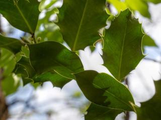 Spineless holly leaves, back lit, on wild Ilex.