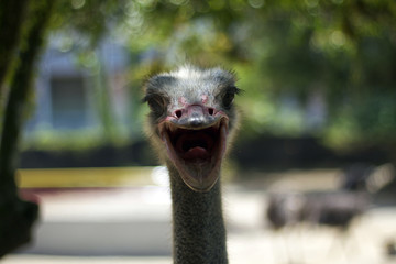 Ostrich Open Mouth
