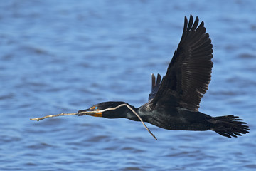 Double-crested Cormorant in Flight with Stick