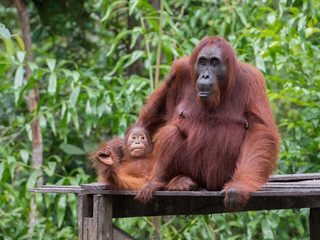 Baby orangutan plays with her mom on a wooden platform