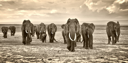 A herd of elephants walking group on the African savannah in the photos taken in the Amboseli reserve Kenya Africa