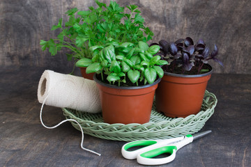 Kitchen herbs in flowerpots. Green basil,red basil,parsley.