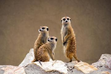 Meerkats watching