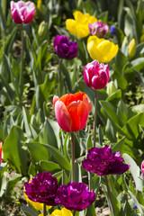 bed of tulips growing in spring garden tulips