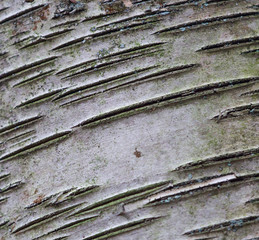 Beautiful pattern of the old tree's bark