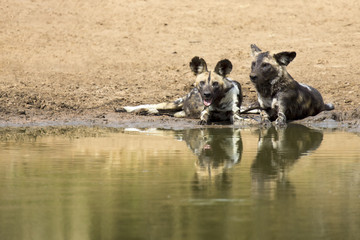 Two wild dogs rest next to a waterhole to drink water