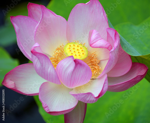 Lotus flower nelumbo nucifera known by a number of names including lotus flower nelumbo nucifera known by a number of names including indian lotus mightylinksfo