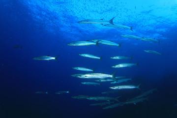 Barracuda fish underwater in blue ocean
