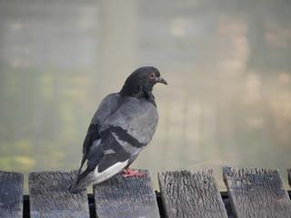 Pigeon (Columbidae) is standing on the bridge nearby water